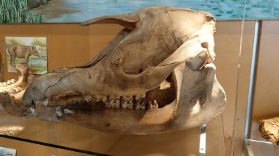 Schädel eines Urzeittieres Naturkundemuseum Maastricht