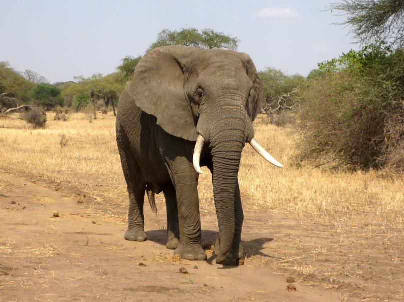 elephant-114543