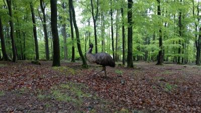 Ein einsamer Emu trottet vorbei